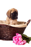 Spring puppy Royalty Free Stock Photo