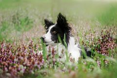 spring puppy fairy tale portrait of a border collie dog in flowers stock photo