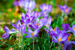 Spring purple crocus flowers Stock Photography