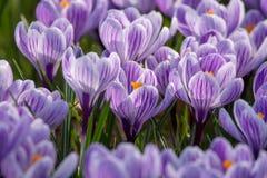 Spring purple crocus flowers on green grass Stock Photos