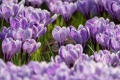 Spring purple crocus flowers on green grass Stock Photography