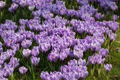 Spring purple crocus flowers on green grass Stock Image