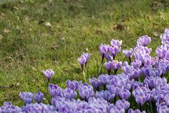 Spring purple crocus flowers on green grass Royalty Free Stock Images