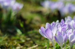Spring purple crocus on green grass at sunny day Stock Photography