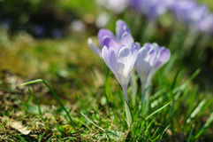 Spring purple crocus on green grass at sunny day Royalty Free Stock Photography