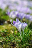 Spring purple crocus on green grass at sunny day Royalty Free Stock Photo