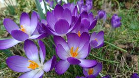 Spring purple crocuses flowering blooming 2 Royalty Free Stock Images