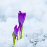 Spring purple crocuses Royalty Free Stock Photography