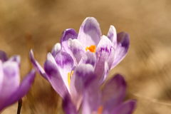 Spring purple crocuses Stock Photos