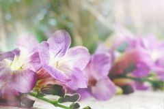 Spring purple flower background in soft background. Spring purple flower background in soft blur vintage tone Royalty Free Stock Images