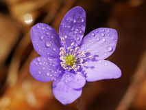 Spring Purple Flower. Beautiful spring purple flower in the morning light Royalty Free Stock Photo