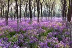 The spring morning is full of purple flowers in the forest, a large area of purple flowers, dreamy colors stock image