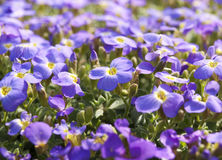 Spring purple flowers Stock Images