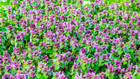 Spring purple flowers background Royalty Free Stock Photos