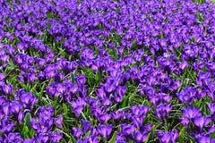 Spring purple flowers blooming in the famous Dutch tulip park. Taken in Keukenhof, Netherlands. royalty free stock image