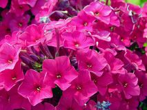 Spring purple flowers in the garden. Close up royalty free stock image