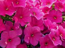 Spring purple flowers in the garden. Close up royalty free stock photo