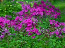 Spring purple flowers in the garden. Close up royalty free stock photos