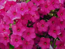 Spring purple flowers in the garden. Close up royalty free stock images