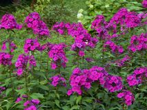 Spring purple flowers in the garden. Close up stock photos