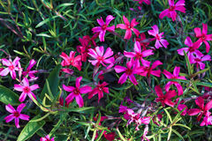 Spring  purple flowers. And green foliage background Royalty Free Stock Photography