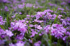 Spring purple flowers Stock Photography