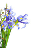 Spring purple flowers irises Royalty Free Stock Photography