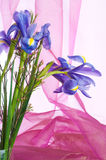 Spring purple flowers irises Royalty Free Stock Image