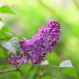 Spring Purple Lilac Flowers on the Green Background Royalty Free Stock Photo