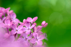 Spring Purple Lilac Flowers on the Green Background Royalty Free Stock Image