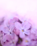 Spring Purple Lilac Flowers on the Green Background Stock Photo