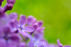 Spring Purple Lilac Flowers on the Green Background Stock Images
