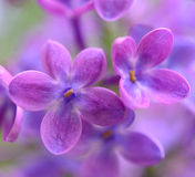 Spring Purple Lilac Flowers on the Green Background Stock Image