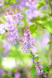 Spring purple lilacs Stock Image