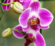 Spring purple orchid blossom Stock Photo