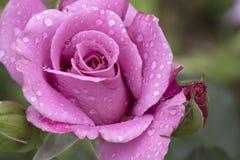 Spring purple  rose in the garden  Royalty Free Stock Photos