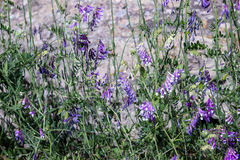 Spring purple wild flowers. And green foliage background Royalty Free Stock Photography