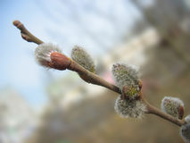 Spring. Pussy-willow twig with melting buds Stock Photos