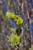 Spring pussy willows Royalty Free Stock Images