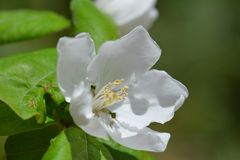 Spring quince blossom in garden Royalty Free Stock Photo