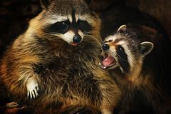 Spring raccons. Screaming with his friend Royalty Free Stock Photos