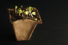 Spring radish seedlings for your small garden. Dark background. Peat pot for seedlings with soil and plants. Royalty Free Stock Photography