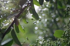 Spring Rain. A morning rain bejewels a budding spring plant Royalty Free Stock Photos