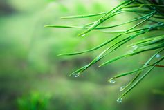 After the spring rain. Coniferous needles with raindrops. stock photography