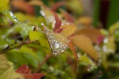 Spring Rain droplets on multicolor bush. A small bright multicolored bush covered in water droplets after a spring rain shower royalty free stock photo