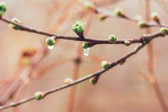 Spring rain drops on the buds. Selective focus Stock Photos