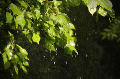 Spring Rain. Green Leaves in Sunny Day Stock Images