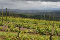 Spring Rain and Promise. The sun shines brightly on the vineyard as rain lingers in the distance Royalty Free Stock Photos