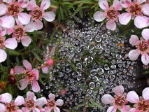 Spring Rain Water Drops On Spider Web Stock Image