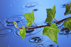Spring Rain Water leaves. A branch of ivy with rain falling on a water background Stock Photo